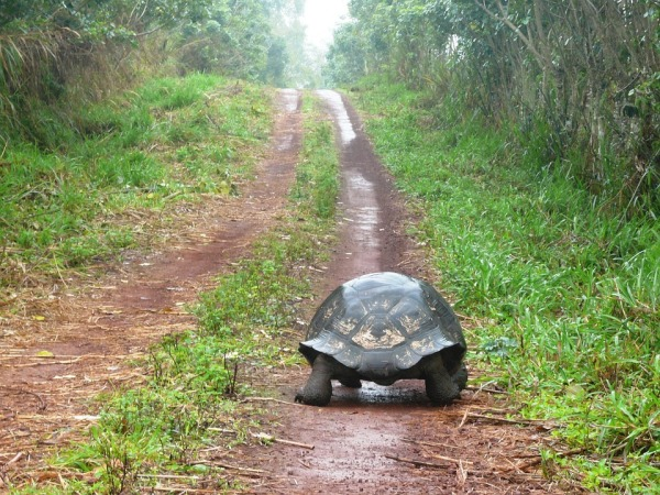 Tortoise heads down a dirt path surrounded by greenery