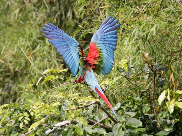 A large parrot shows its multi-colored wings